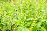 Kaip išvengti peršalimo, sustiprinti organizmą? Nepelnytai pamiršti augalai