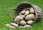 Galima valgyti ar iš karto išmesti lauk: visa tiesa apie sudygusias ir pažaliavusias bulves