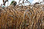 Pernykščio derliaus grūdų saugojimui – ypatingas dėmesys